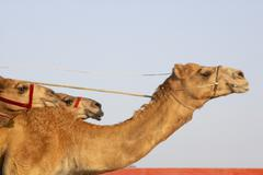 Camel Racing In Dubai Stock Photos