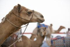 Camel Racing In Dubai - stock photo