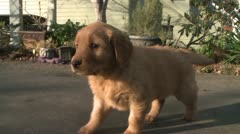 CUTEST GOLDEN RETRIEVER PUPPY ON THE RUN STOCK VIDEO FOOTAGE HD 1080 Stock Footage