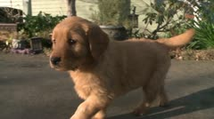 ADORABLE GOLDEN RETRIEVER PUP PUPPY RUNNING IN SLOW MOTION HD 1080 STOCK VIDEO Stock Footage