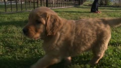 PLAYFUL GOLDEN RETRIEVER PUP PUPPY PLAYING ON LAWN HD 1080 - stock footage