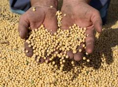 Soy bean harvest Stock Photos