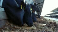 Stock Video Footage of Chewing cows on the farm