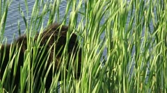 Galloway cow grazing in reed at lakeside Stock Footage