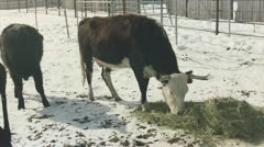 Cow eating hay Stock Footage