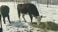 Stock Video Footage of Cow eating hay