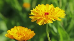 Calendula flowers close-up Stock Footage