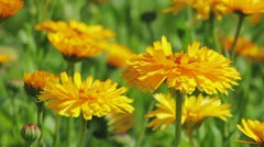 Calendula flowers close-up - stock footage