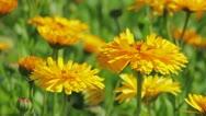 Calendula flowers close-up Stock Footage