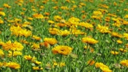 Calendula flowers in the park Stock Footage