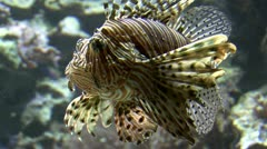 Red lionfish Stock Footage