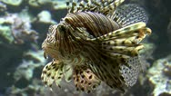 Stock Video Footage of Red lionfish