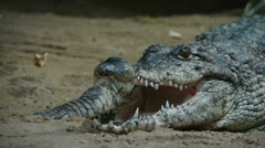 Crocodile rolling eyes and snapping teeth Stock Footage