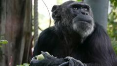 Chimpanzee eating cale Stock Footage