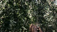 Stock Video Footage of Olives harvesting in a field in Italy