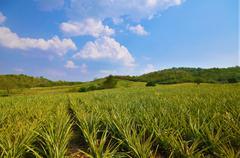 Pineapple farm , fruits field with beautiful sky Stock Photos