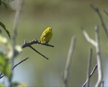 Yellow Warbler sits on branch,flies away and returns Stock Footage
