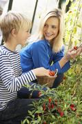 Stock Photo of Young woman with teenager harvesting tomatoes