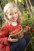 Young child harvesting tomatoes Stock Photos