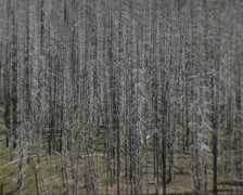 Burned area in pine forest - zoom out hillside with dead trees still standing Stock Footage