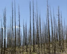 Burned forest + pan hillside with dead snags still standing Stock Footage
