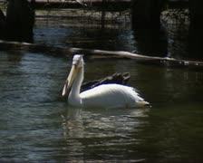 American White Pelican floating, flies up and lands in river Stock Footage