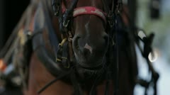 Harnessed Horse Chewing Stock Footage