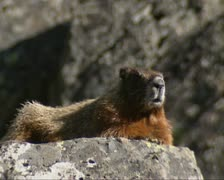 Sunbathing marmot at Sheepeater cliff lava rocks, Yellowstone National Park Stock Footage