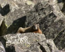 Yellow bellied marmot sunbathing + zoom out pillar rock Stock Footage