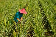 Stock Photo of farmer harvesting in pineapple farm