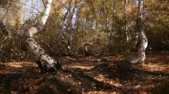 Autumn birch wood. Ecology concept. Stock Footage