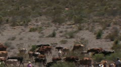 Cowboys heard longhorns 3 Stock Footage
