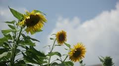 Dandelions breezing in the wind Stock Footage