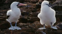 Galapagos Nazca Booby adult and baby Stock Footage