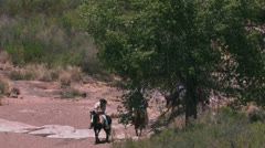 Horse riders in search of longhorn cattle Stock Footage