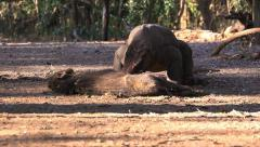Komodo Dragon bite the victim. Stock Footage
