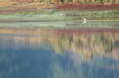 Single white bird wades through reflective water - stock photo