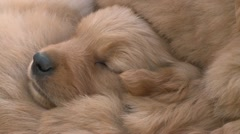 CLOSE UP OF CUTE SLEEPING GOLDEN RETRIEVER BURIED IN LITTER OF PUPPIES HD 1080 Stock Footage
