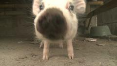 Piglet Sniffs Camera Lens Stock Footage