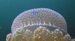 Perfect jellyfish, shot 3 of 4 Stock Footage