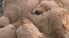 ADORABLE LITTER OF GOLDEN RETRIEVER PUPPIES SLEEPING CAMERA SLOW PULL OUT HD Stock Footage