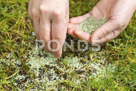 Stock photo of replanting new grass seed