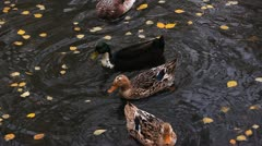 Ducks dive under water among yellow leafs Stock Footage
