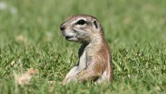 Alert ground squirrel, South Africa Stock Footage