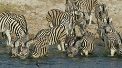 Plains (Burchell's) Zebras drinking water, Etosha National Park, Namibia Stock Footage