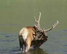 Wapiti bull, elk, Cervus canadensis, wading in Madison River Stock Footage