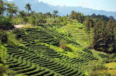 tea plantation in taiwan - stock photo