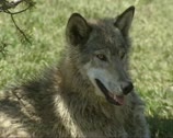 Stock Video Footage of Wolf (canis lupus) lies under tree 02
