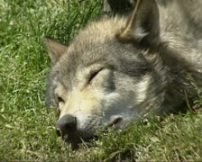 Wolf (canis lupus) sleeping Stock Footage