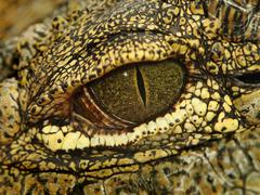 Alligator eye Stock Photos